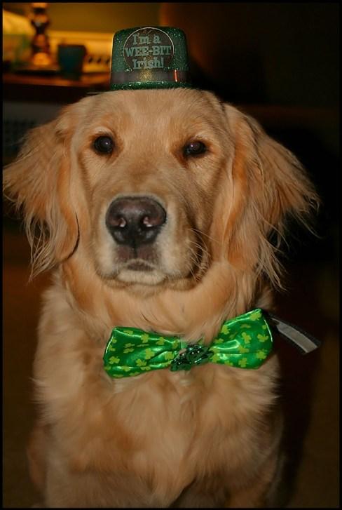 St-Patricks-Day-golden-retriever