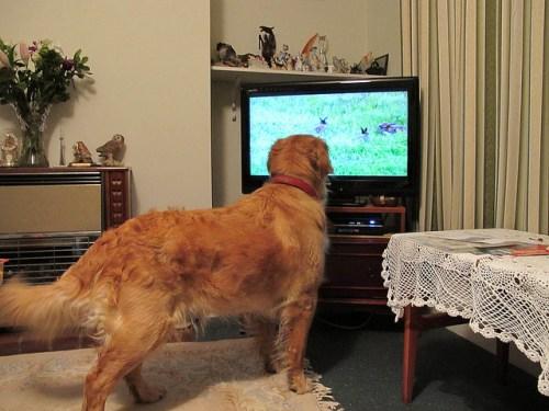 Scrabble watching rabbits on tv - photo credit Dwilliams851