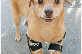 WATCH: Disabled Dog Learns to Run with New Prosthetic Legs 2