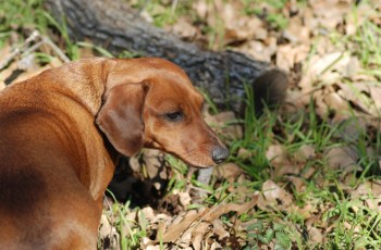 Dog Owners Need to Beware of this Autumn Danger - Acorns 3
