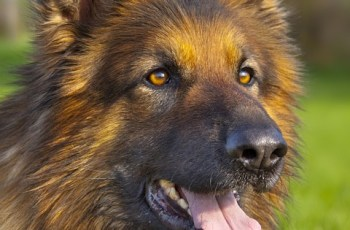 Dog Expert Welcomes Introduction of New Guidelines Condemning Stacking of German Shepherds 4