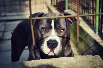 Montreal SPCA Takes Action Following Introduction of Breed Specific Legislation 1