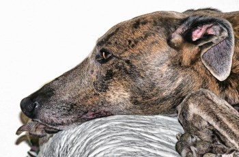 DEFRA's Half Hearted Greyhound Welfare Report Slammed 3