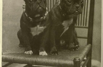 Who Is to Blame for the French Bulldog's Rising Popularity? 3