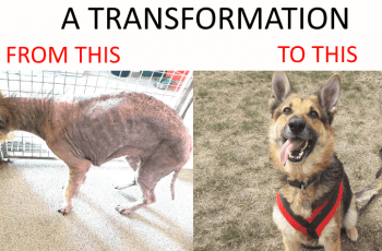 See Incredible Transformation of Abused German Shepherd Dog 3