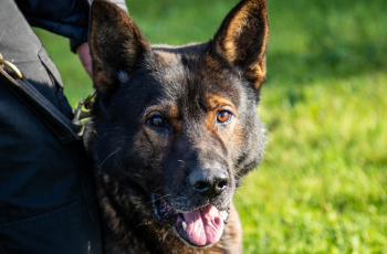 A Police Dog Named Axle Has Received an Award After Surviving Life-Threatening Injuries on Duty 30