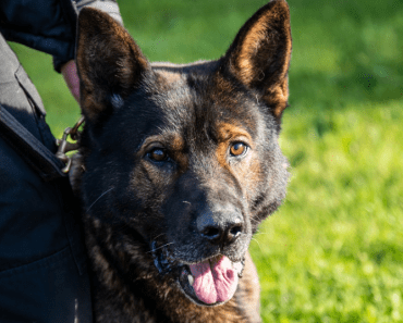 A Police Dog Named Axle Has Received an Award After Surviving Life-Threatening Injuries on Duty 1