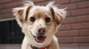 Golden Retriever Chihuahua Mix: A Sweet & Sassy Pup