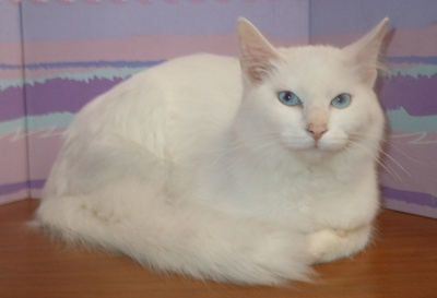 snowwhite domestic long hair humane society of dallas county