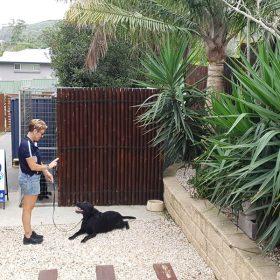 Training a labrodor
