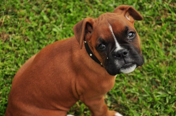 Should You Choose a Boxer or German Shepherd as Your Next ...