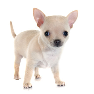 Puppy Chihuahua food