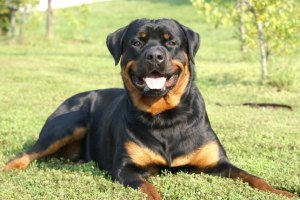 health issue faced by Rottweiler