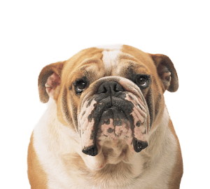 natural health problem of bull dogs
