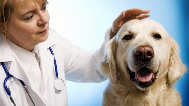 16 veterinarian doctor woman taking care of a golden retriever dog Bigstock Photosani 750x420 Best Dog Food For Pitbull Lab Mix