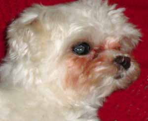 of pain eyesight could be at stake puppy tear staining