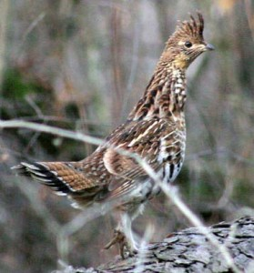 Lets hunt ruffed grouse