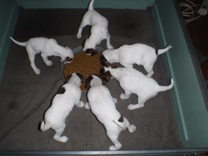 Wild Apple Kennels English Pointer Pups