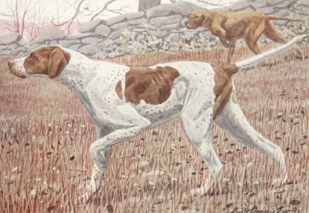English Pointer with a Low Tail