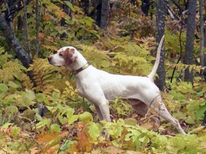 Superior Pointer's Mack - a beautiful grouse dog