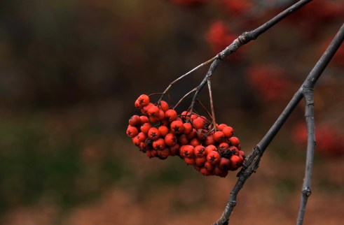 Winterberry in Maine