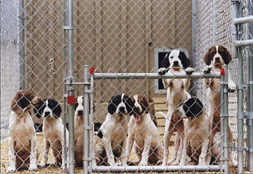 English Pointer puppies from Autumn Memory Kennels