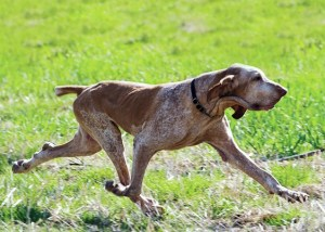 Bracco Italiano, from Pointing Dogs, Volume One: The Continentals, by Craig Koshyk