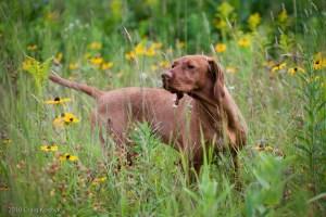A Vizsla, from Craig Koshyk's Pointing Dog Blog