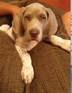 White Weimaraner Puppy
