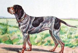 The Württemberger pointer, from Craig Koshyk's Pointing Dog Blog