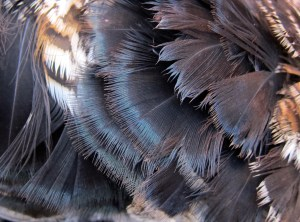 """ruff"" feathers around grouse's neck. Where the name ""Ruffed"" grouse comes from."