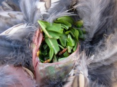 Grouse crop. Both birds were full of the same green stuff and the buds.