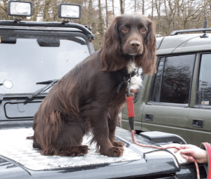 A Sprocker Spaniel, from SprockerSpaniel.co.uk
