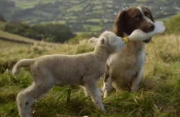 Now this is what I call versatile. Jess the springer spaniel feeds a baby lamb from a bottle.