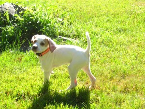 Lexi, English Pointer, Superior Pointers