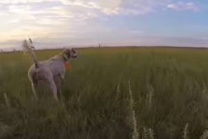 Video: Relocation on Wild Birds, by Sky Dance Kennels