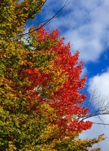 Brilliant fall red, flashing against the blue sky.