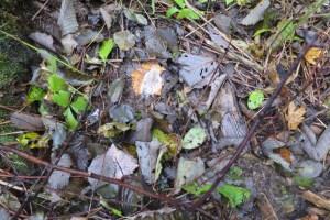 Fresh woodcock splash in the alder cover
