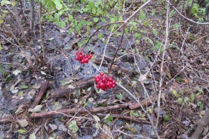 Some highbush cranberry in one of our spots. Grouse love these.