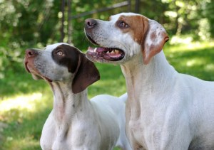 Sky & Lexi, our Pointer out of Superior Pointers
