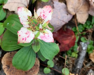 Wildflower in an Alder cover, fall, 2016
