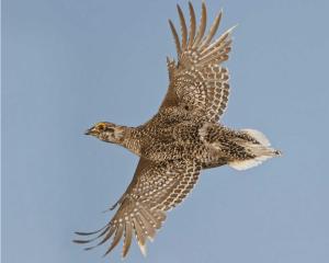 Sharp-tailed grouse, photo by Glenn Bartley/VIREO, from Audubon.org site