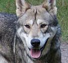 Wolf hybrid canid hybrid