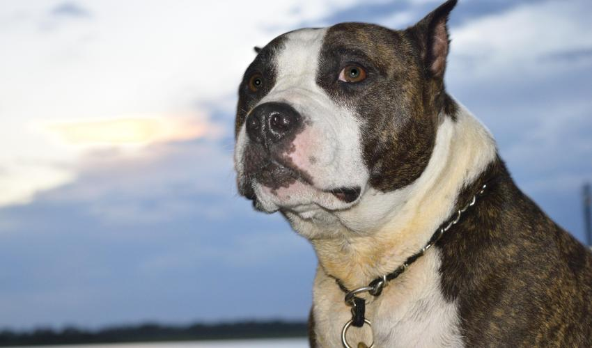 Large Grey and White Dog Wanting A Walk   Dogs Colorado
