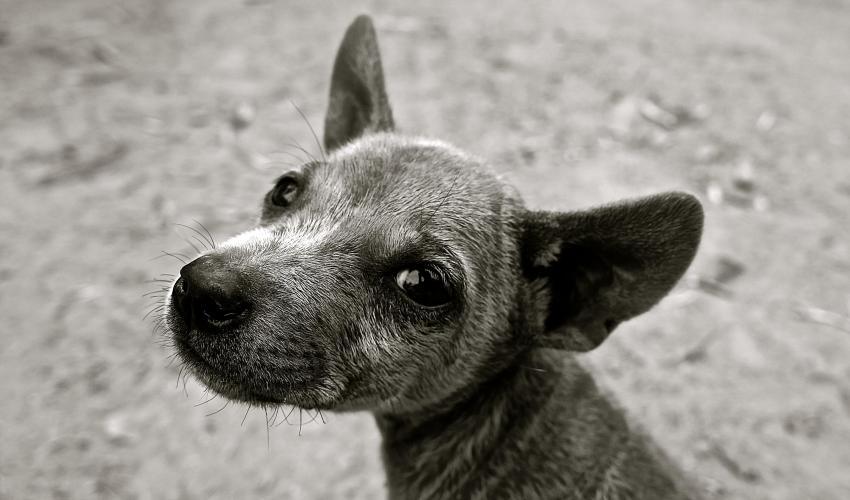 Small Grey Dog Wanting a Walk   Dogs Colorado