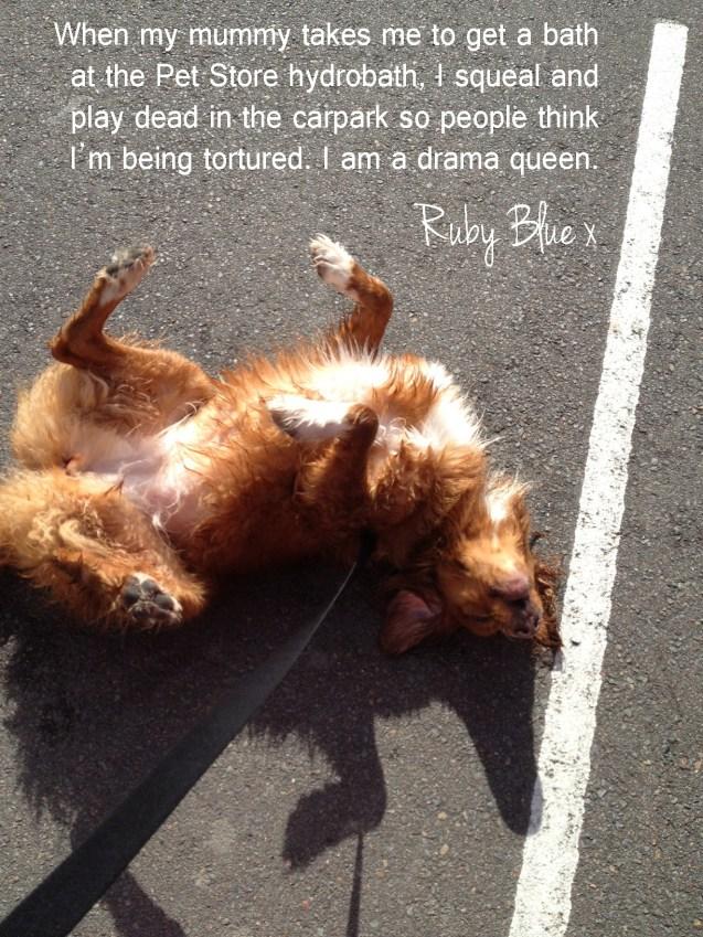 dog-shaming-ruby-blue-nova-scotia-duck-tolling-retriever