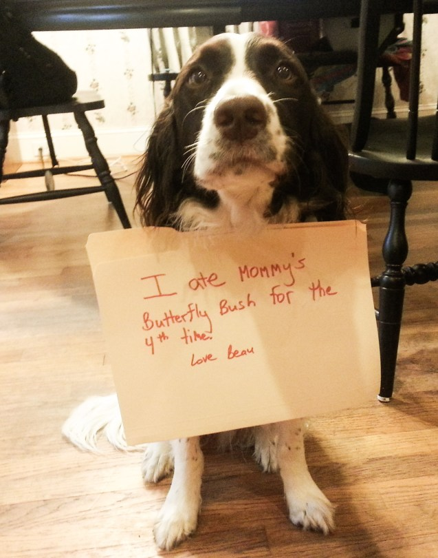 beau-dog-shaming