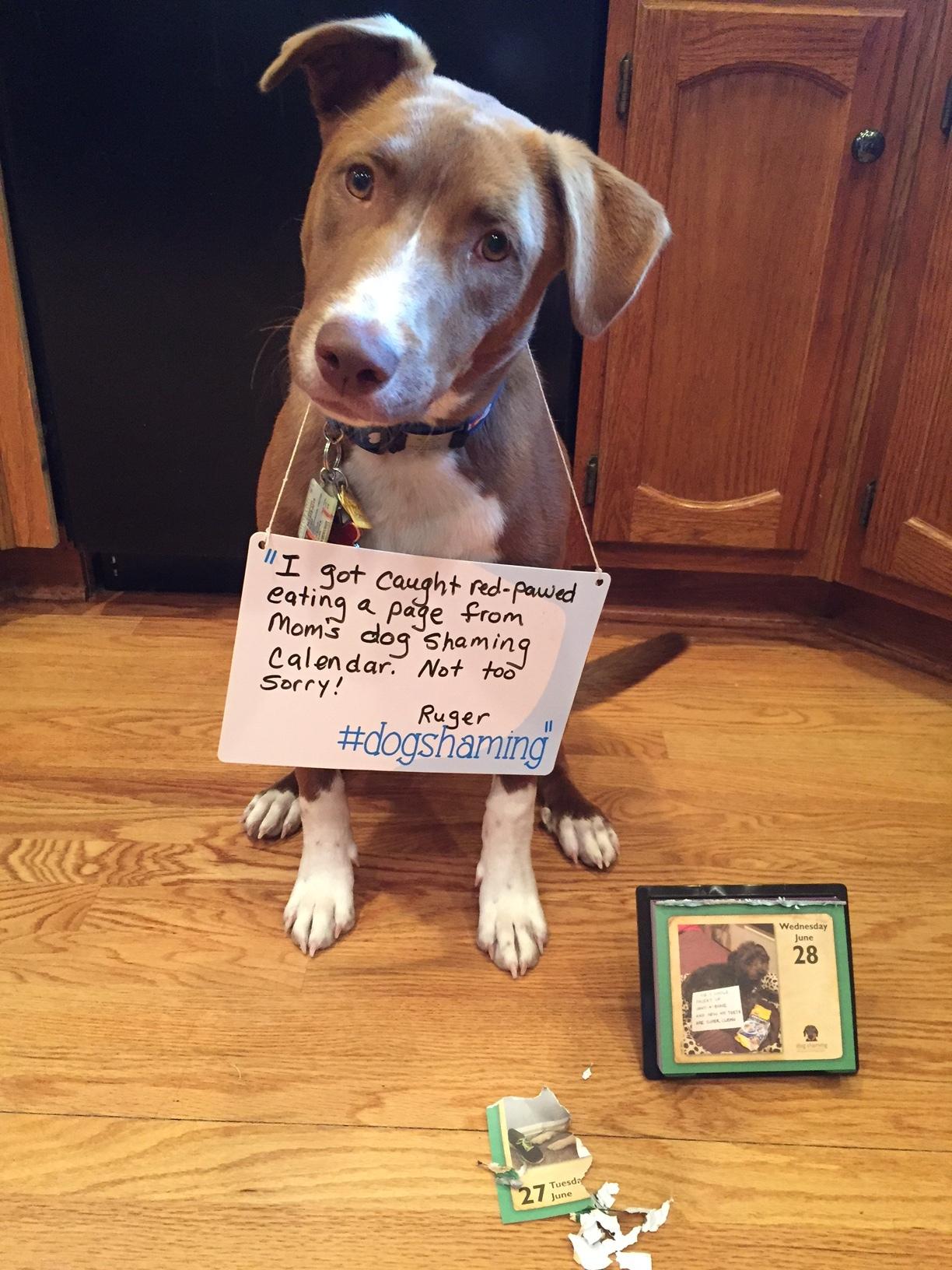 ruger dog shaming 6 28 17 chewed up dog shaming calendar 1 flipped jpg
