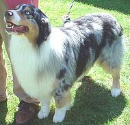 Australian Shepherd Dog Herding Dog Breeds From The