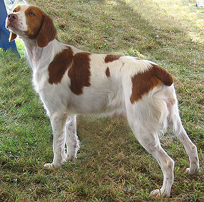 https://i1.wp.com/www.dogsindepth.com/sporting_dog_breeds/images/brittany_spaniel_h02.jpg